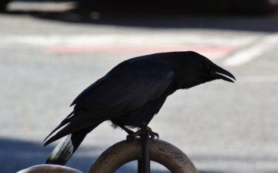 Le corbeau Sasà, par Nanni