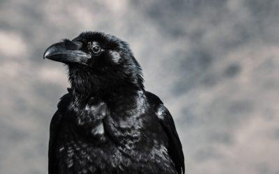 Il corvo Sasà
