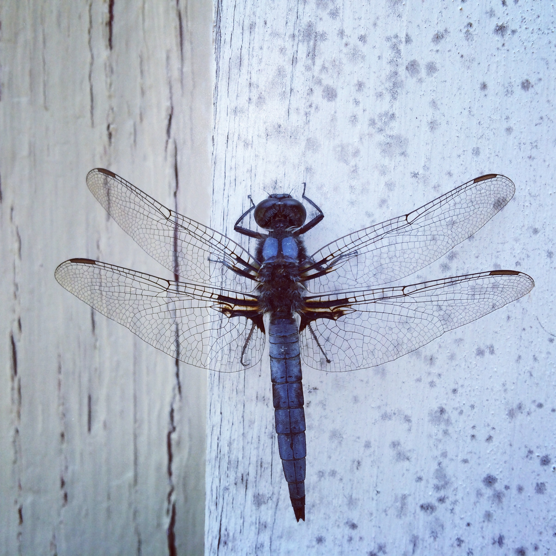 La libélula