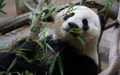 La historia increíble del panda