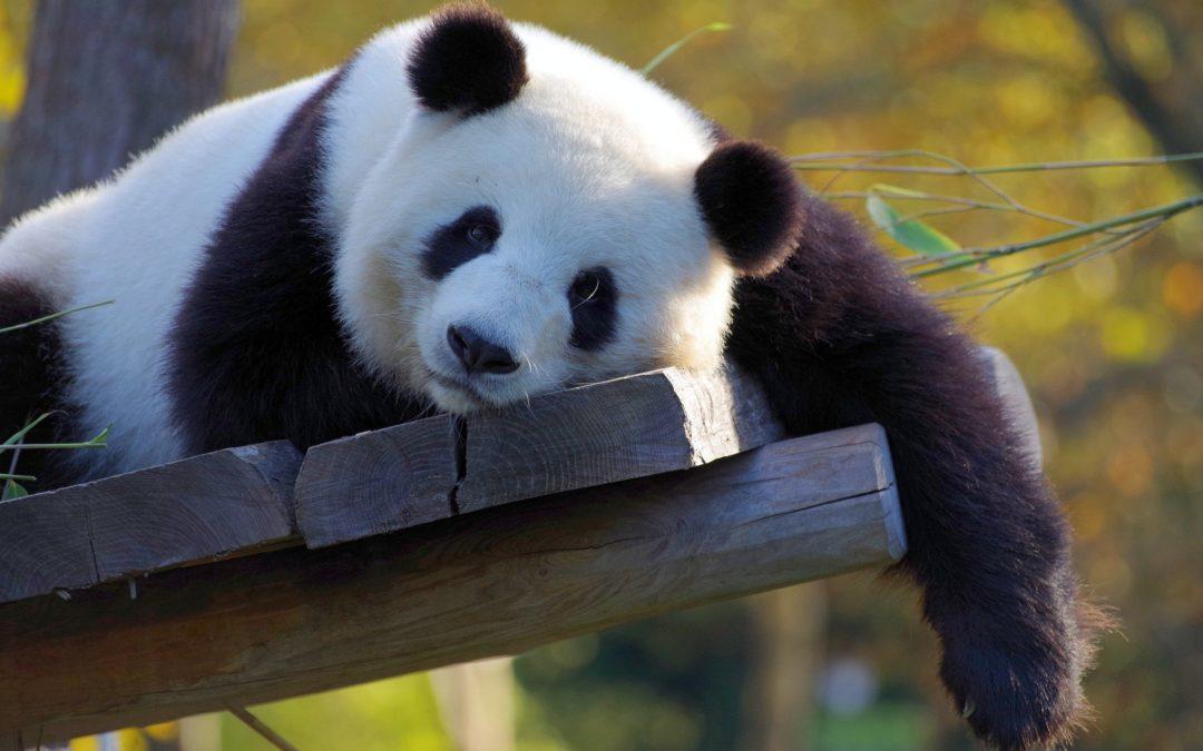 L'incroyable histoire du panda, par Xabs