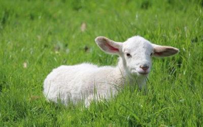 L'histoire de la naissance de l'agneau, par Marcelle
