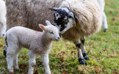 Les chèvres, par Nicolas